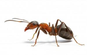 ant11