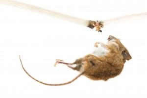 Mäusebekämpfung Bensheim