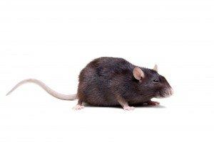 Rattenbekämpfung Darmstadt