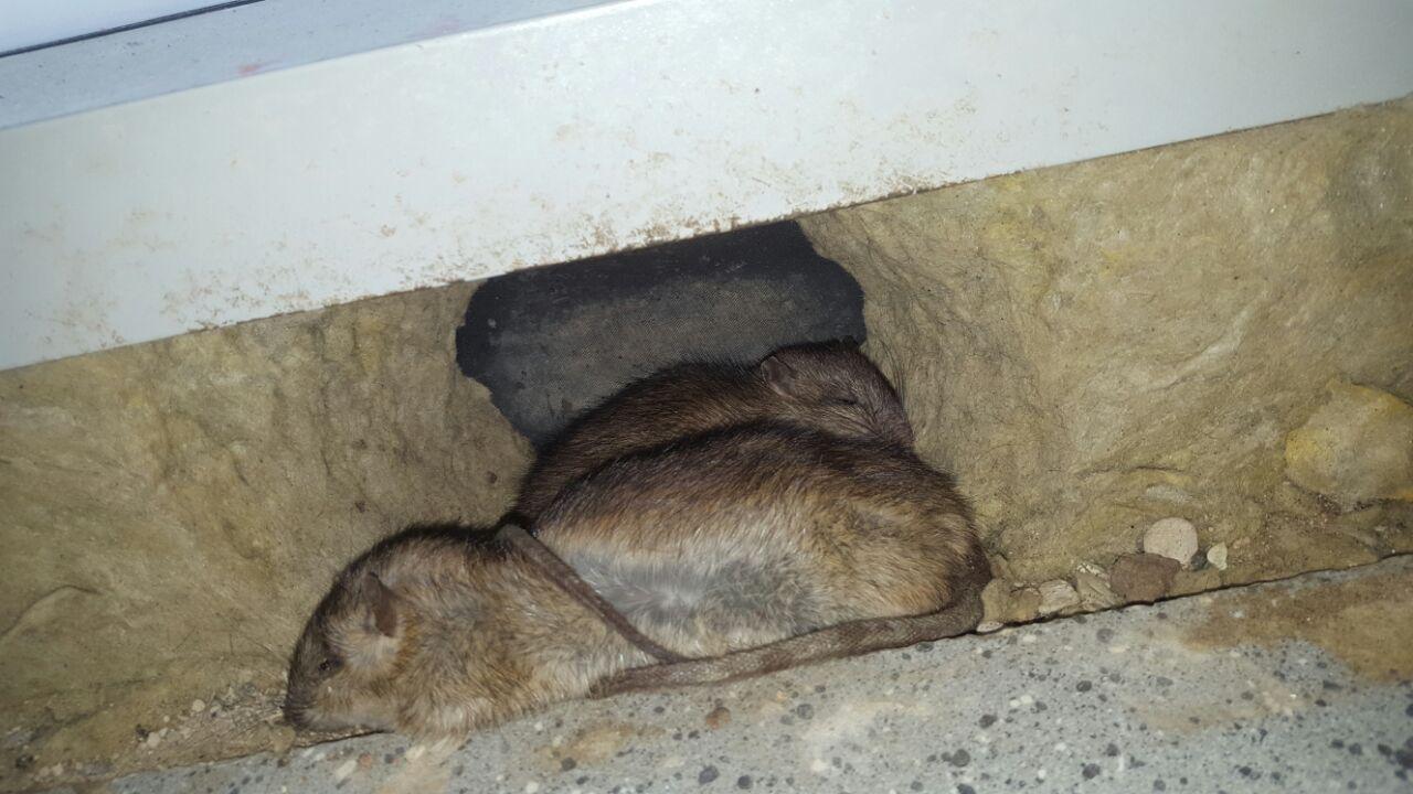 Sie sehen 3 tote Ratten in Darmstat aufgenommen hinter einer Wandverkleidung.